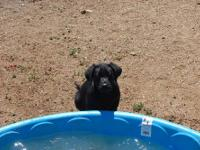 Hi! Me and my family are looking for a black lab puppy.