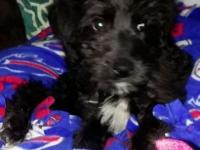 Male black labradoodle 9wks old. Mother was yellow