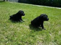 We have 2 beautiful Black female pups left that will be