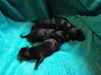I have 12 black lab puppies for sale to a good home