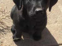 This is a purebred 12 week old female black Labrador