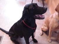 Black Labrador Retriever - 2974 - Large - Adult - Male