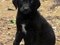 Black Labrador Retriever - 3 Puppies - Large - Baby -