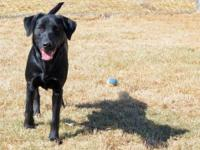 Black Labrador Retriever - Abigail - Medium - Young -