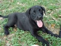 I?m a Black Labrador retriever / Boxer. I was saved by