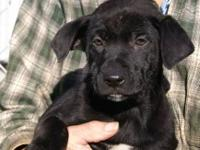 Black Labrador Retriever - Barker - Medium - Young -