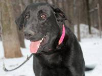 Black Labrador Retriever - Bear - Large - Adult - Male