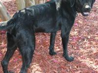 Black Labrador Retriever - Bella - Large - Adult - Male