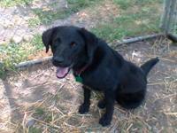 Black Labrador Retriever - Bennie-adopted!!!! - Large -
