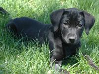 Black Labrador Retriever - Black Dogs ~info Only~ -