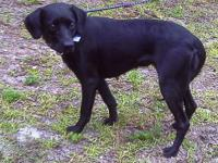 Black Labrador Retriever - Bones - Medium - Young -
