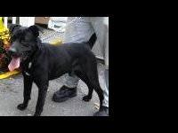 Black Labrador Retriever - Boo - Large - Senior - Male