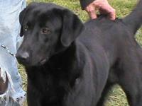 Black Labrador Retriever - Bruce - Large - Young - Male