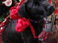 Black Labrador Retriever - Buddy - Large - Young - Male