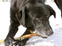 Black Labrador Retriever - Carllisle Pudding - Large -