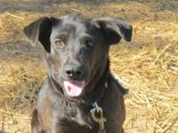 Black Labrador Retriever - Chance~sweet!! - Large -