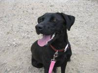 Black Labrador Retriever - Chief - Medium - Adult -