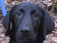 Black Labrador Retriever - Clove - Large - Young -