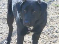 Black Labrador Retriever - Clyde - Medium - Young -