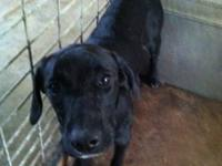 Black Labrador Retriever - Coal - Medium - Young - Male