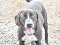 Black Labrador Retriever - Cujo - Large - Adult - Male