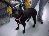 Black Labrador Retriever - Daisy - Large - Adult -