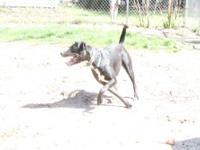 Black Labrador Retriever - Darby - Medium - Young -