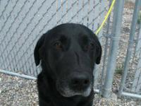 Black Labrador Retriever - Echo - Large - Adult -