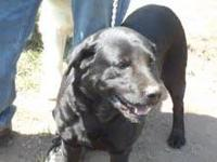 Black Labrador Retriever - Eli - Large - Adult - Male -