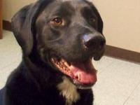 Black Labrador Retriever - Figur - Large - Adult - Male