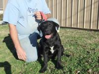 Black Labrador Retriever - Gary - Large - Baby - Male -