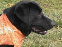 Black Labrador Retriever - Geoffrey - Large - Young -