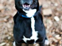 Black Labrador Retriever - Gina - Medium - Baby -