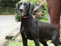 Black Labrador Retriever - Gus - Large - Adult - Male -