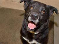 Black Labrador Retriever - Howard (homeless Since