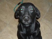 Black Labrador Retriever - Huey - Medium - Young - Male