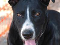 Black Labrador Retriever - Jackson - Medium - Adult -