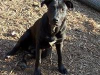 Black Labrador Retriever - Jenny - Large - Senior -