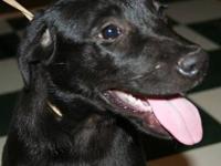 Black Labrador Retriever - Kelly - In Ct - Medium -