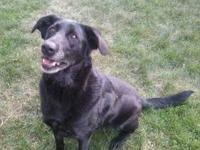 Black Labrador Retriever - Kipper - Facilitated Listing