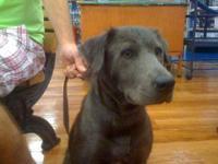 Black Labrador Retriever - Linda - Medium - Young -