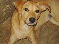 Black Labrador Retriever - Lolli - Medium - Young -