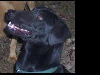 Black Labrador Retriever - Louie - Medium - Adult -