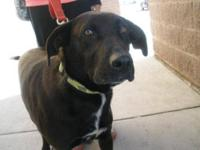 Black Labrador Retriever - Mary Jo Aka Mj - Medium -