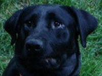 Black Labrador Retriever - Nickee - Medium - Young -
