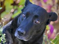 Black Labrador Retriever - Phoebe - Medium - Adult -