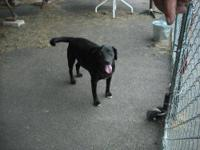 Black Labrador Retriever - Precious - Medium - Adult -