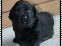 I have a litter of black puppies -- Now taking depsoits