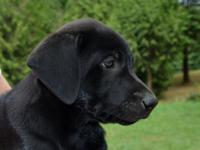 Beautiful Black Labrador Puppies. 1 Female, 5 Males