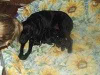 ( Beautiful Black Labrador Retriever Puppies for Sale.)